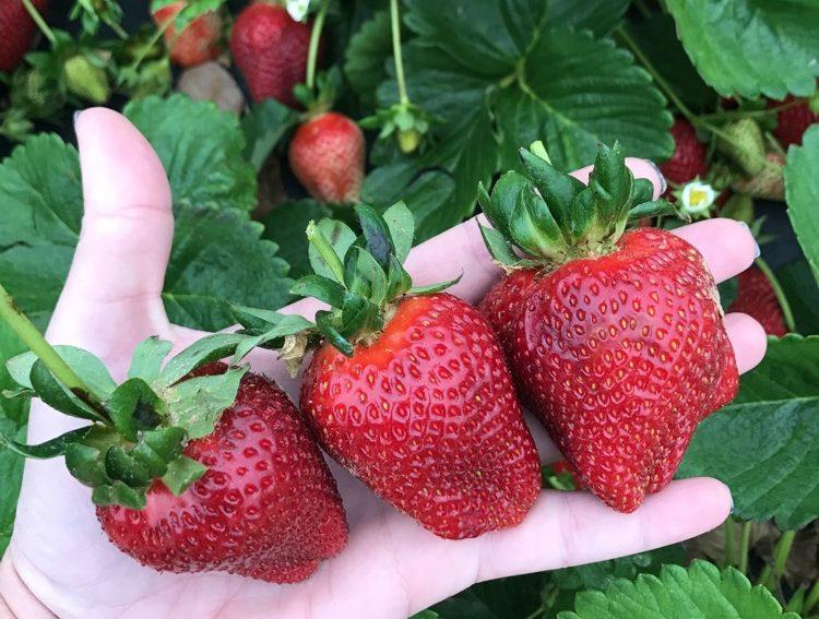 Pecan Creek Strawberry Farm